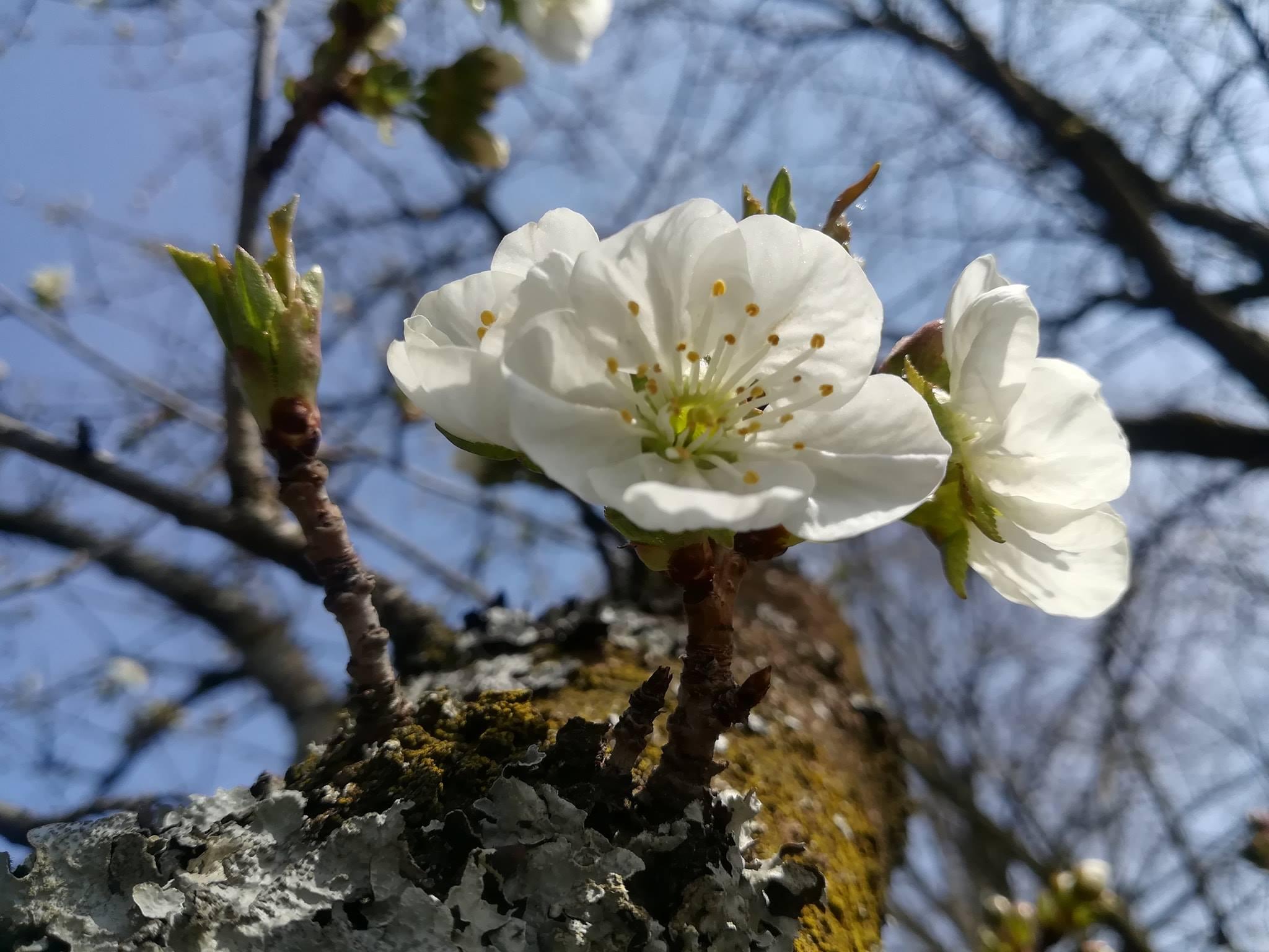 Meggyvirág | Orienta.hu