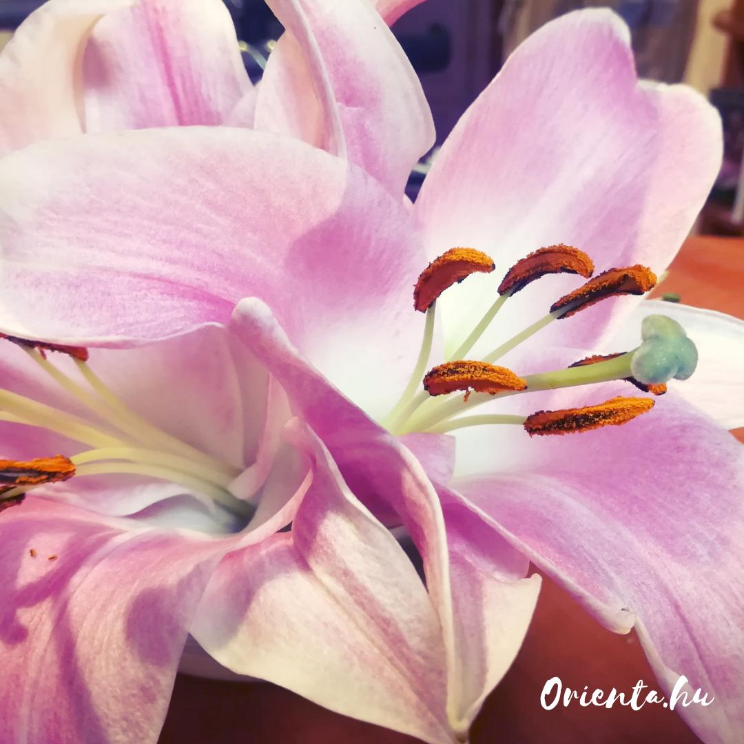 Liliom | Orienta.hu