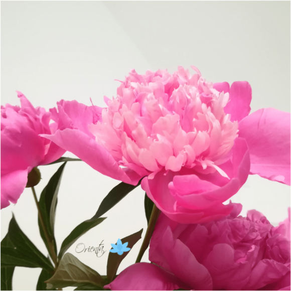 Pünkösdi rózsa | Orienta.hu